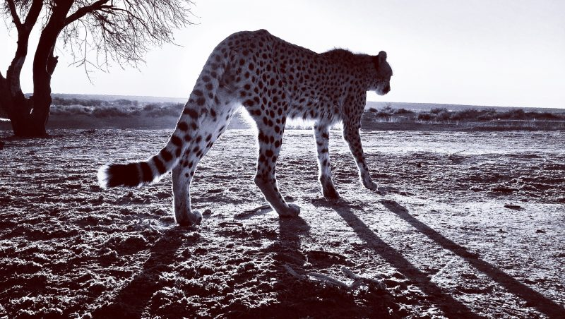 Behind the Scenes with the Ronin 2, Faster Still – Filming Cheetahs in Namibia